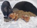 Borus and the chicks