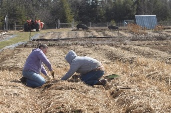 Planting onions beneath oats