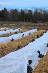 Newly planted rows of onions