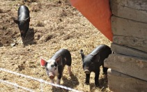 wandering piglets