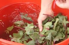 Bordeaux Spinach wash