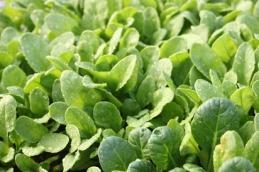 crispy greens