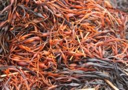 Seaweed for mulching