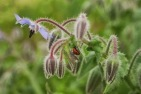 Borage and the lady bug