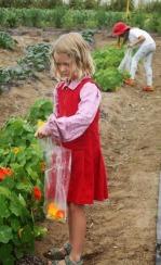 harvesting nasturtiums