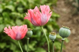 poppy and pod1