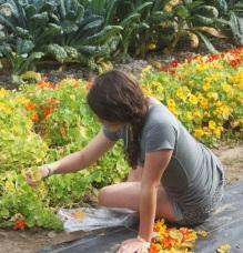 harvesting nastrutiums