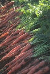 carrots laid out
