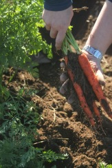carrots unearthed
