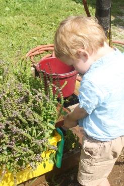 kiddo tending to sacred basil