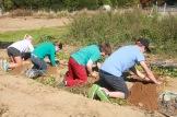 waldorf students digging potatoes