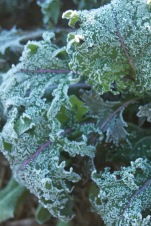 crystalized greens