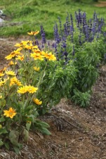 rudbeckia and salvia
