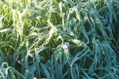 sea of frosty oats