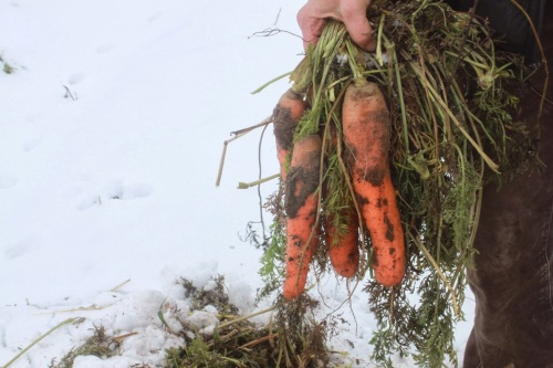 carrots beneath the snow