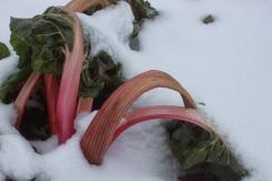 chard stalks in snow