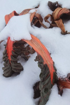 snow laden swiss chard