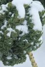 Snowy kale