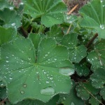 Dew on Lady's Mantle
