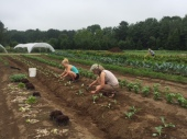 Fall Cabbage Planting