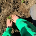 planting hands